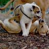 Buddy (bulldog), Fraser (pup)_5