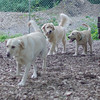 HAZEL (pup) , FRASER (pup)_1