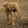 BODIE (african mastiff)_4