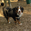 bernese mountain dogs_2