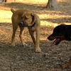 BODIE (african mastiff)_1
