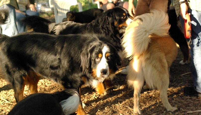 bernese mountain dogs_1