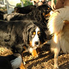 bernese mountain dogs_1