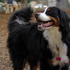 LOLA (bernese mountain)_1