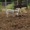 FRASER, ROXY (puppies)_3