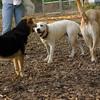 ROXY  (lab pup)_15