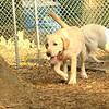 FRASER (lab pup)_2