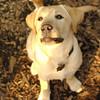 ROXY  (lab pup)_12