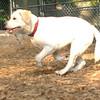 ROXY  (lab pup)_4
