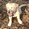 ROXY  (lab pup)_14
