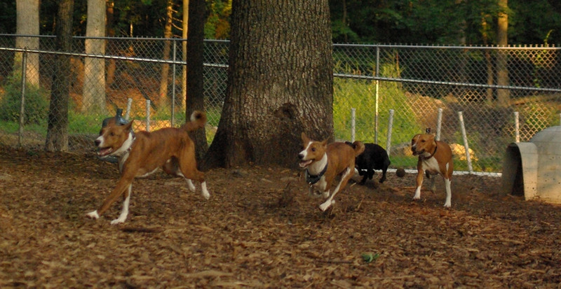 Basenjis & faith (terrier) RUN_2