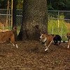 Basenjis & faith (terrier) RUN_2