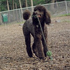 ETHEL & LUCY (poodle)_7