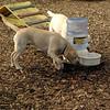 FRASER, ROXY (puppies)_5