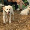 ROXY  (lab pup)_3