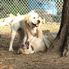 FRASER, ROXY (puppies)_2