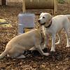 FRASER, ROXY (puppies)_6