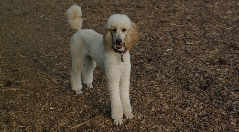 ETHEL & LUCY (poodle)_4