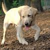 ROXY  (lab pup)_5