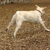 ROXY  (lab pup)_1