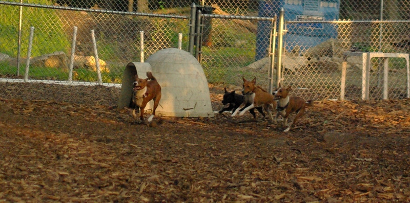 Basenjis & faith (terrier) RUN_1