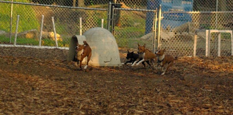 Basenjis & faith (terrier) RUN_1