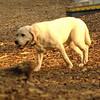 ROXY  (lab pup)_6