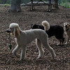 ETHEL & LUCY (poodle)_5