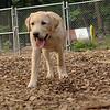 FRASER (lab pup)_1
