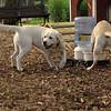 FRASER, ROXY (puppies)_4