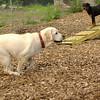 ROXY  (lab pup)_9