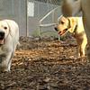 FRASER, ROXY (puppies)_11