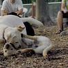 FRASER, ROXY (puppies)_10