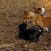 faith (terrier), Basenjis_1