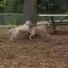 FRASER, ROXY (puppies)_1