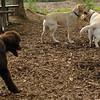 FRASER, ROXY (puppies)_8