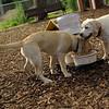 FRASER, ROXY (puppies)_7