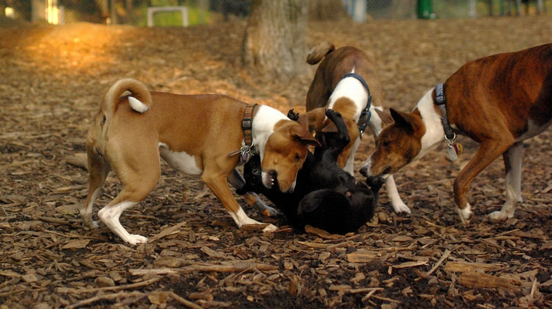 faith (terrier), Basenjis_3