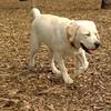 ROXY  (lab pup)_10