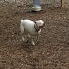 POWDER (white pitbull girl)_2
