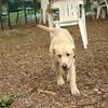 FRASER (lab puppy)_2