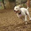 POWDER (white pitbull girl)_8