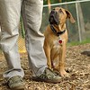 BODIE (african mastiff, pup) 25