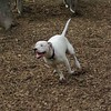 POWDER (white pitbull girl)_1