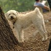 MICKEY (schnoodle)_6