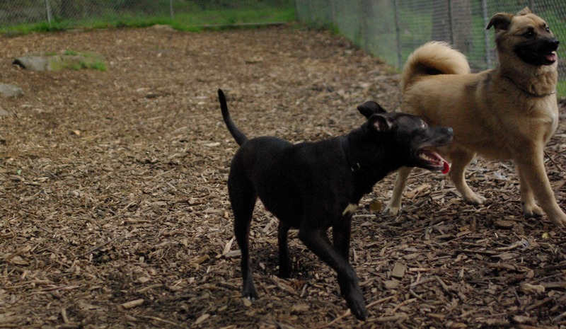 SHADOW (pitbull puppy)_1