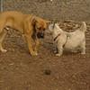 BODIE (african mastiff pup)_7