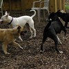 POWDER (white pitbull girl)_6