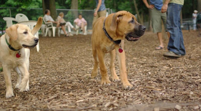 BODIE (african mastiff pup)_3