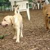 FRASER (lab puppy)_3